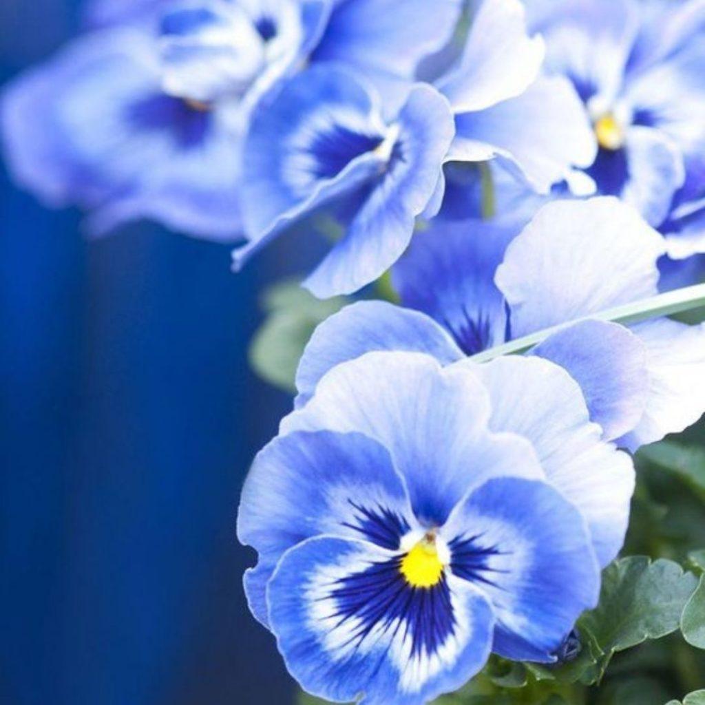 Blue Foods - Blue pansies