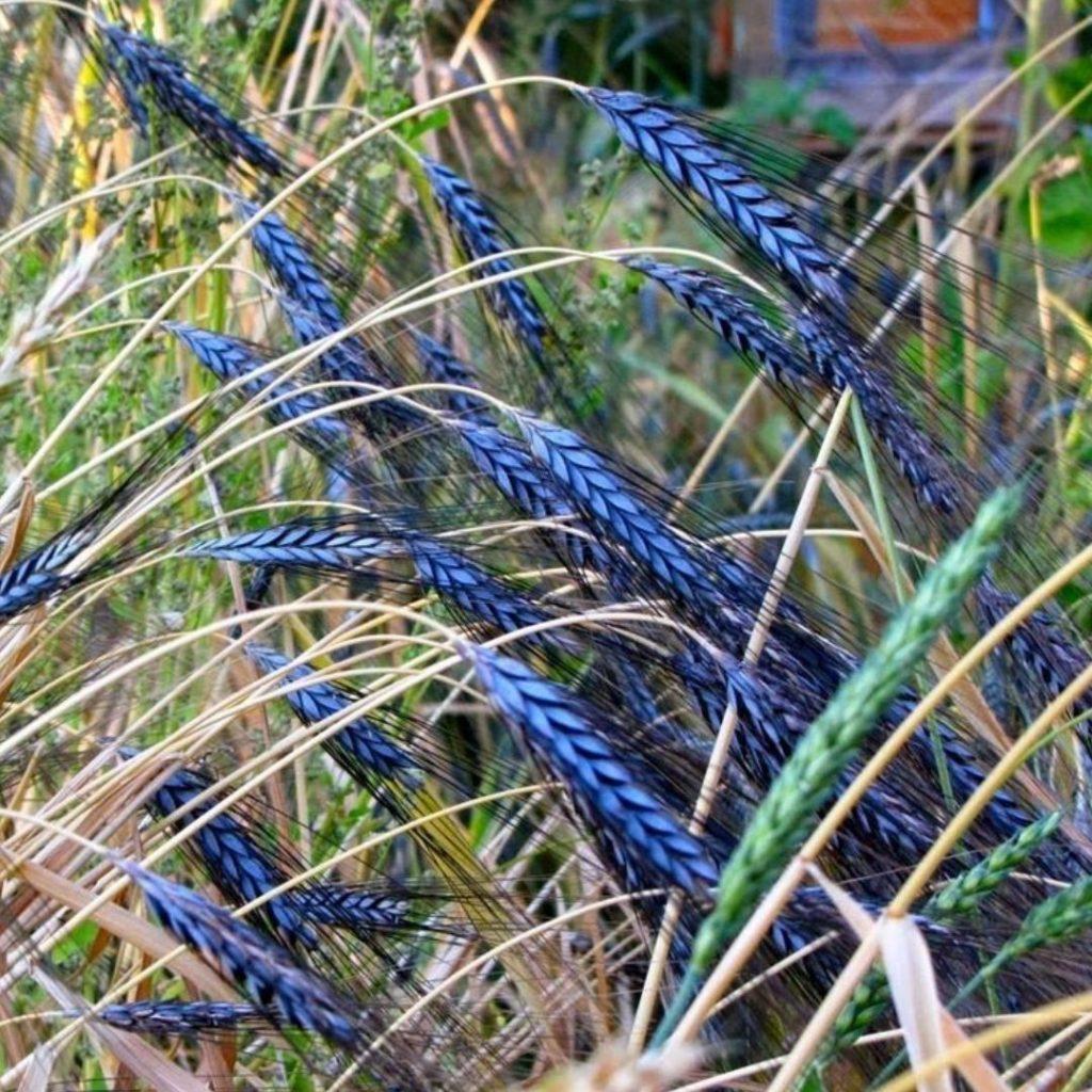 Blue Foods - Utrecht Blue Wheat