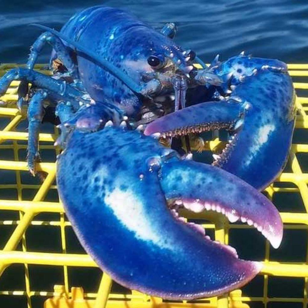 Blue Foods - Blue American Lobster