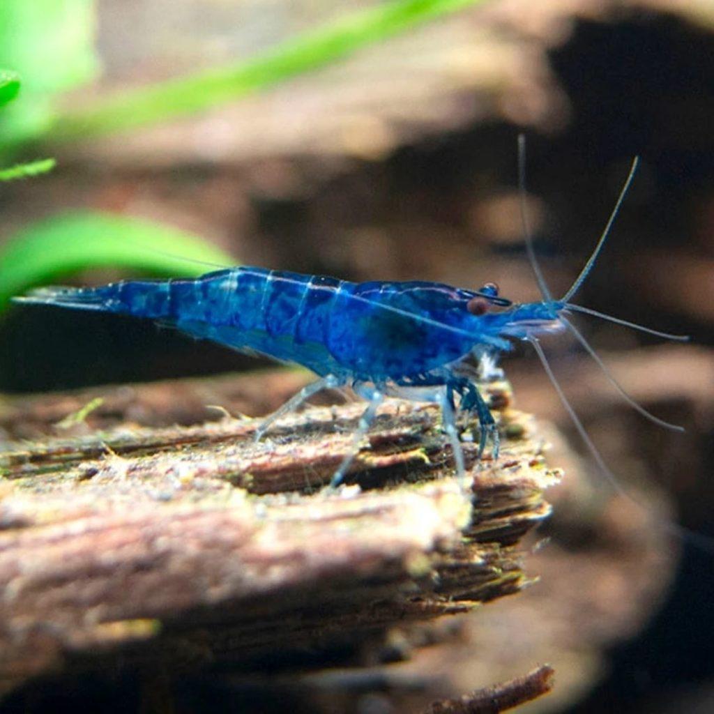 Blue Foods - blue shrimp