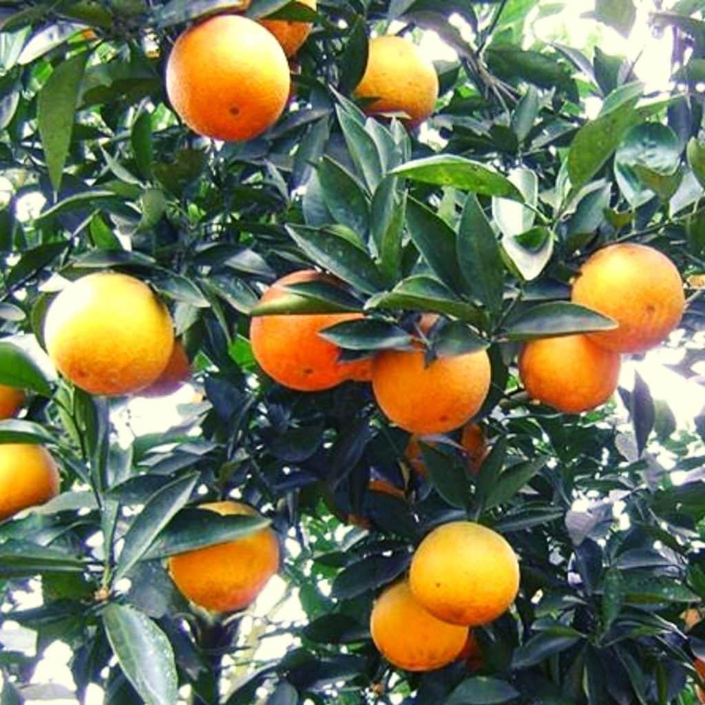 Snacks que comienzan con X - Xã Đoài Orange