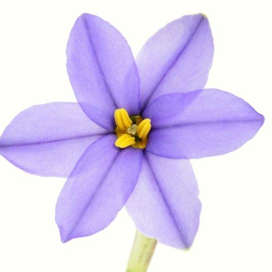 Purple Foods - Purple Starflower
