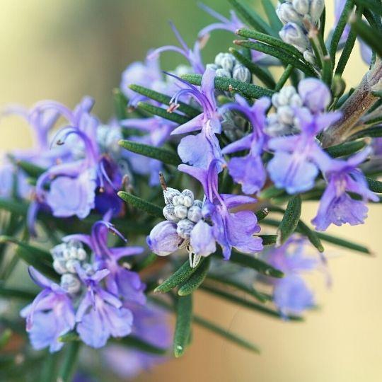 Purple Foods - Purple rosemary
