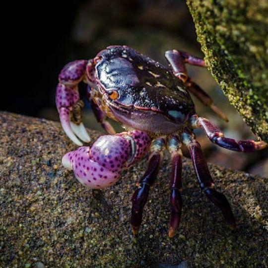 Purple Foods - Purple shore crab