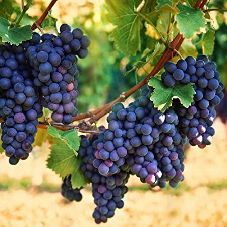 Frutas Moradas - Uvas Concord